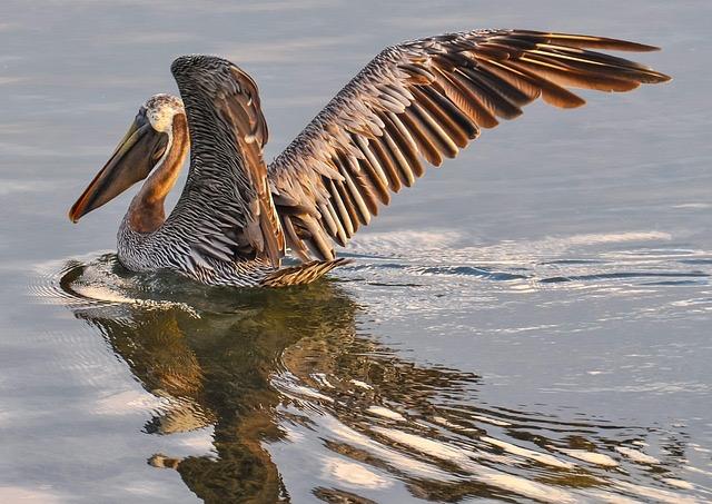 pelican-901006_640